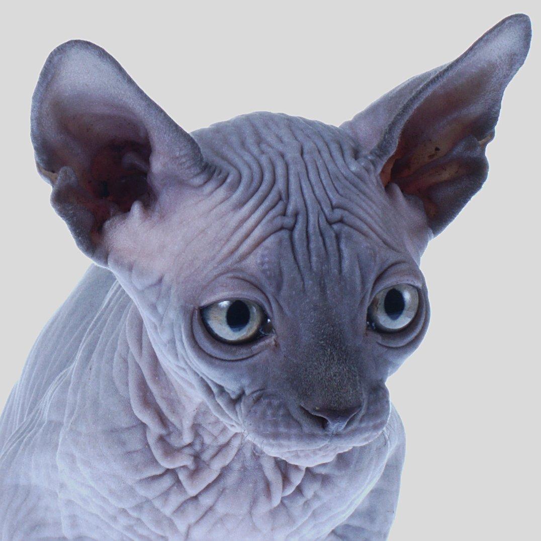 Kitten blue 3